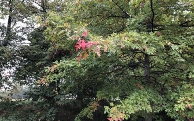 Red Oak Tree Leaves F03