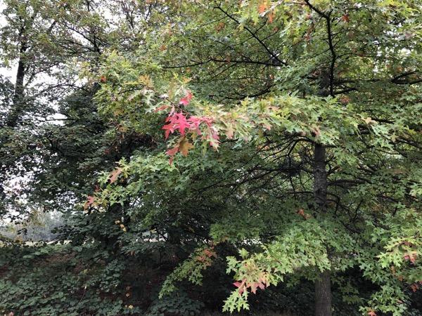 Red Oak Tree Leaves F03 1