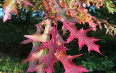 Dark Red Oak Leaf Image F07
