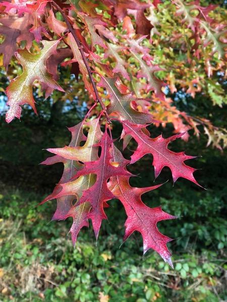 Dark Red Oak Leaf Image F07 1