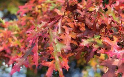 Dark Red Oak Leaf Texture F08
