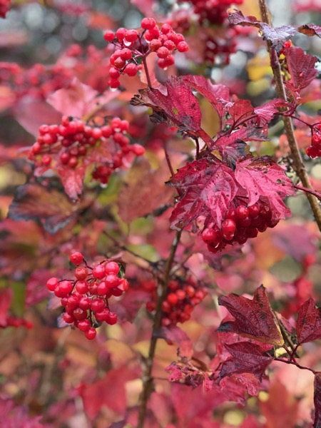 Red Autumn Berries Image F12 1