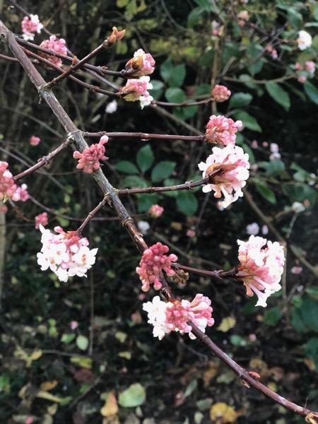 Daphne Flowers Image F21 1