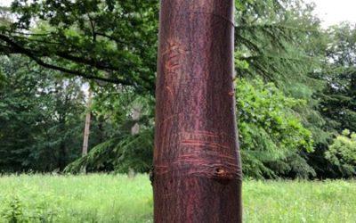 Red Tree Bark Image T07