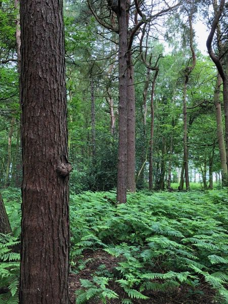 Pine forest image T09 1