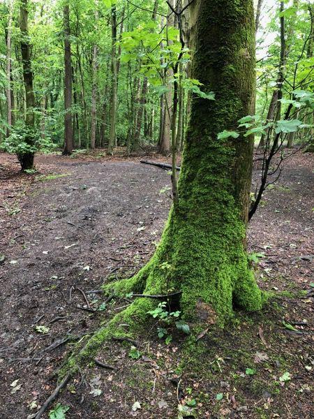 Mossy tree image T13 1