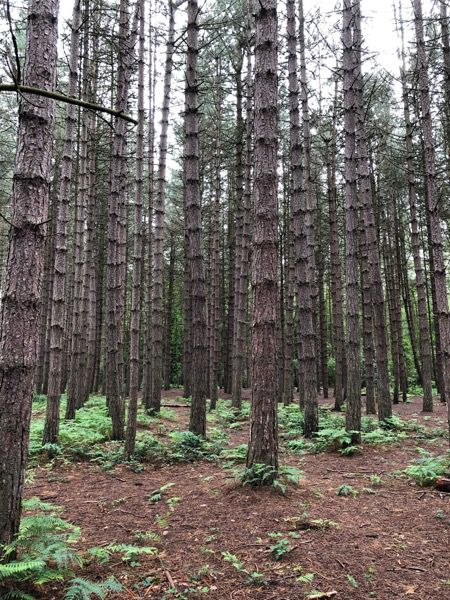 Pine forest image T17 1