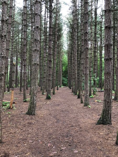 Pine forest image T17 2