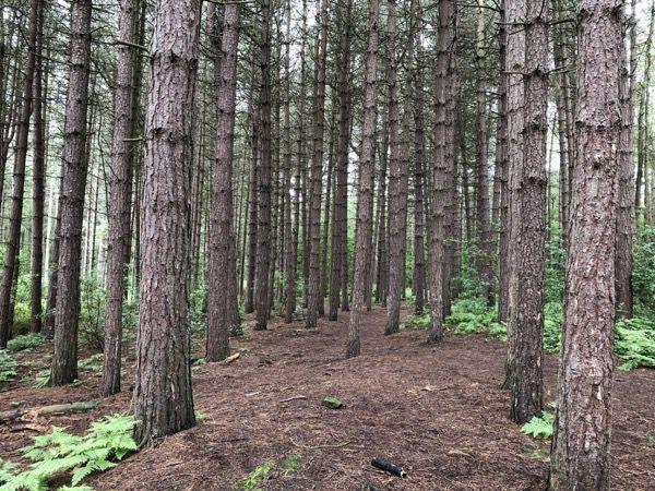 Pine woodland T20 2