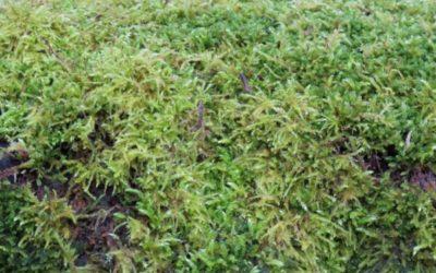 Moss Texture V01