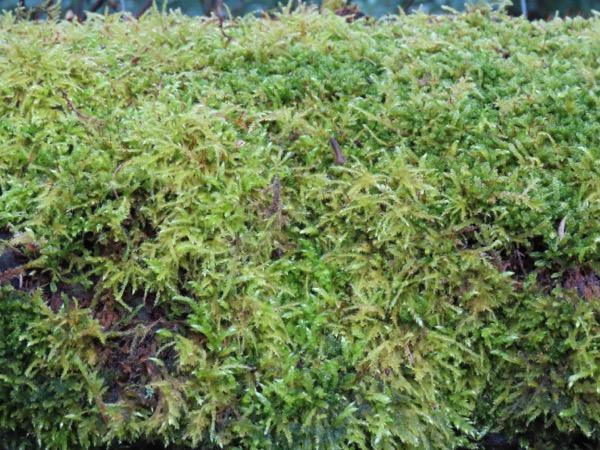 Moss Texture V01 1