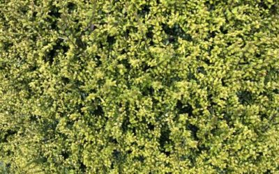 Green Hedge Texture F25