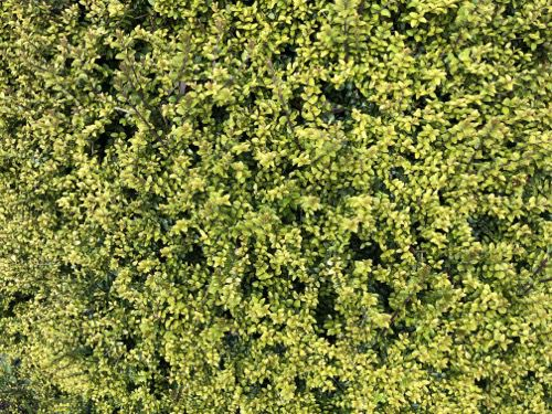 Green Hedge Texture F25 tn