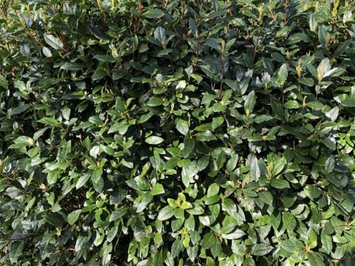 Laurel Hedge Texture F24