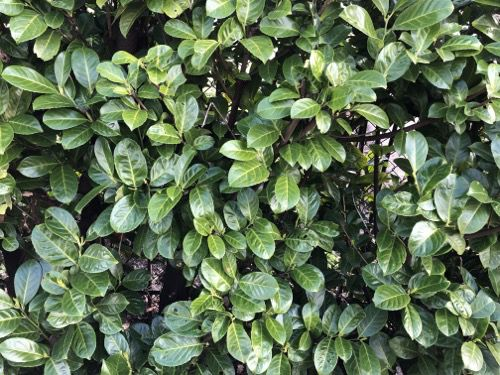 Laurel Hedge Texture F26