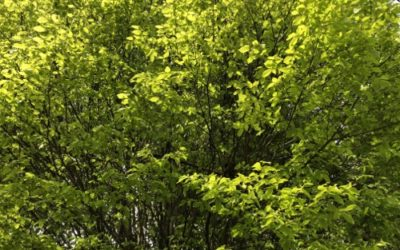 Tree foliage Texture F31