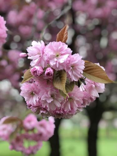 Apple Blossom Texture F39