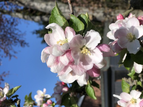 Apple blossom Texture F41