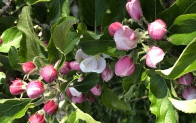 Apple Blossom Buds Texture F43