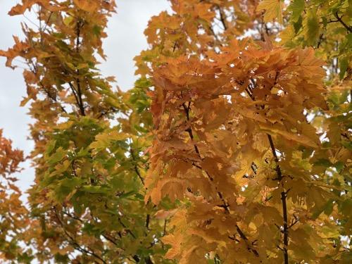 Autumn Leaves Texture F37