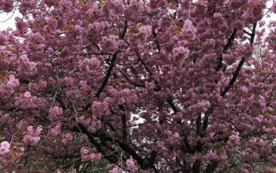 Cherry Blossom Texture F40