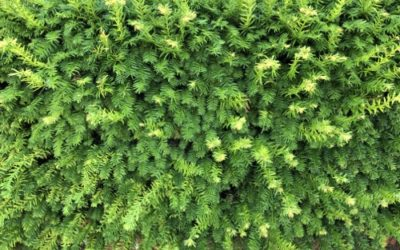 Green Hedge Texture F35