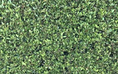 Hedge Texture F34