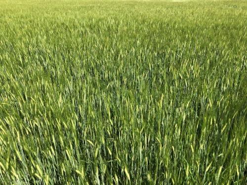 Wheat field Texture F38