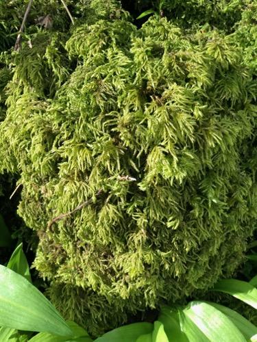 Vegetation Moss Texture V29