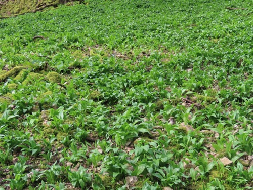 Vegetation Wild Garlic Texture V23