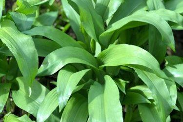 Vegetation Wild Garlic Texture V28