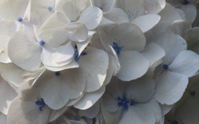 White Hydrangea Texture F46