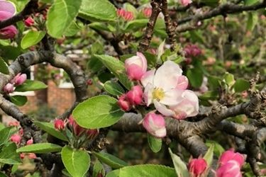 Apple Blossom F57