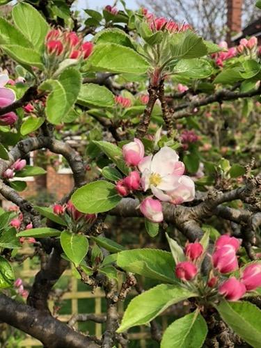 Apple Blossom F57