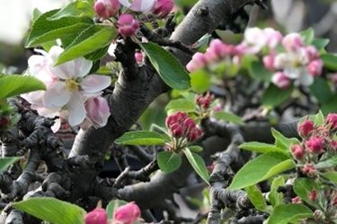 Apple Blossom F59