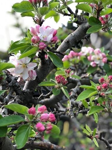 Apple Blossom F59