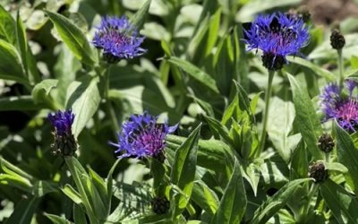 Blue Flowers F61