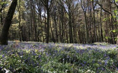 Bluebell woodland stock photo L31