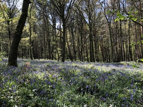 Bluebell woods background photo L32