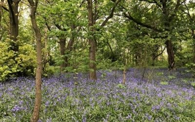 Bluebells background stock photo L33