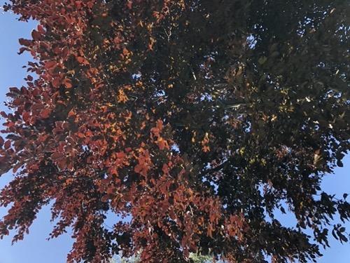 Copper Beech Tree Foliage F69