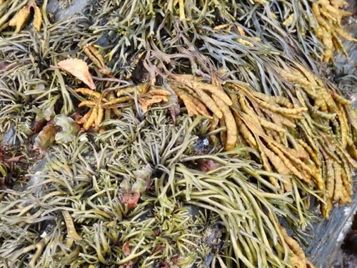 Seaweed texture image M57