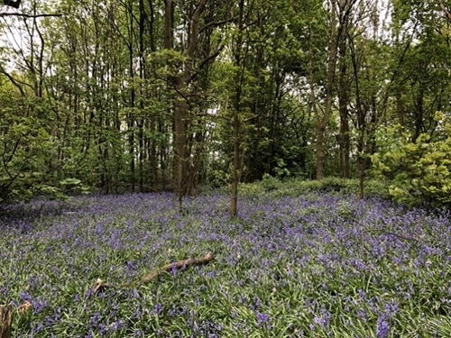 Bluebell woods background L34