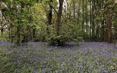 Bluebell woods background L36